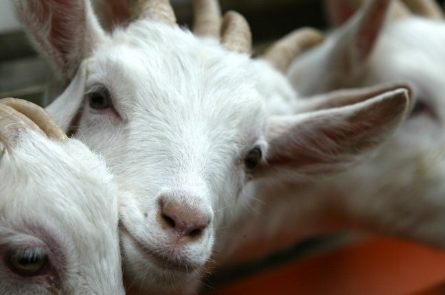 Goat Farm